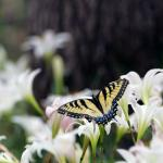 Atamasco Lilies and Tiger Swallowtail in Oconee National Forest